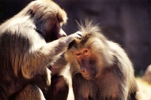 Tetvésző majmok