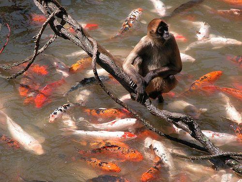 Halászó majom