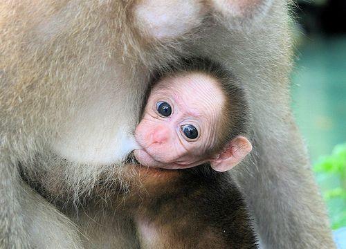 Szopós majom