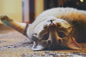 Viszket a cicád füle? Ismerd fel a fülatkát!
