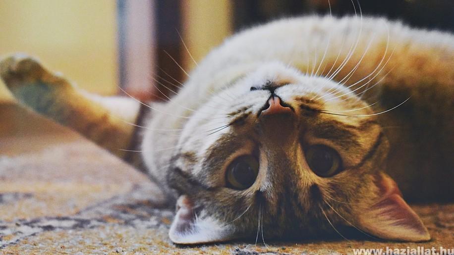 Viszket a cicád füle? Ezek a fülatka jelei!