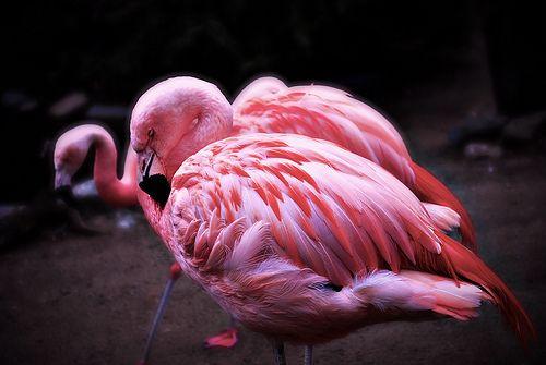 rozsaszin-flamingo