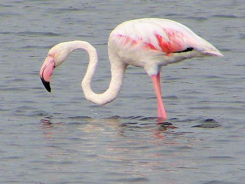 feher-flamingo