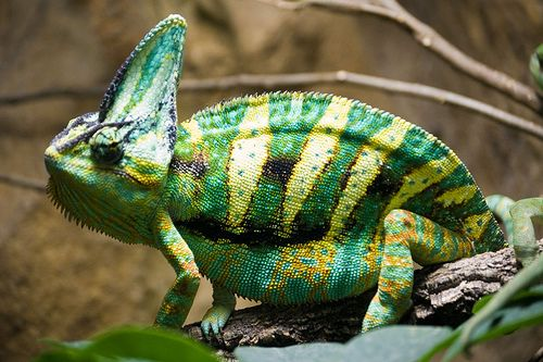 csikos-kameleon