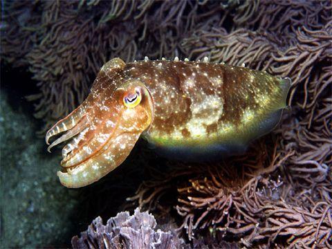 Az egyik legfejlettebb szemú állat a tintahal