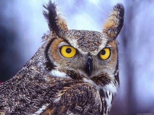 A bagoly pupillája akár százszorosára tágul sötétben