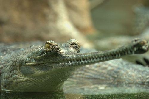 A gaviál szemei a víz felszínén maradnak