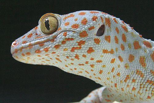 A gekkó különleges pupillája