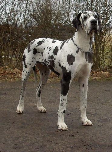 nemet-dog