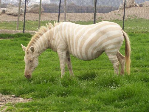Albínó zebra