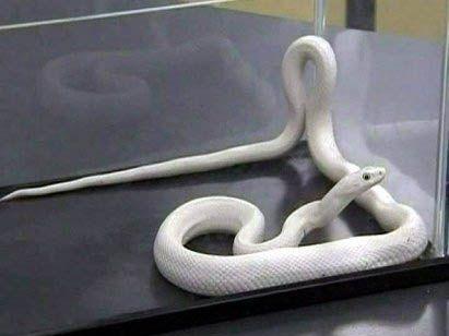 Albínó kígyó