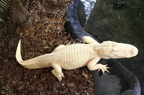 Albínó aligátor