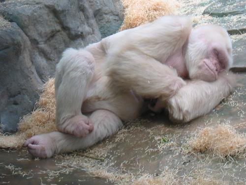 Albínó gorilla