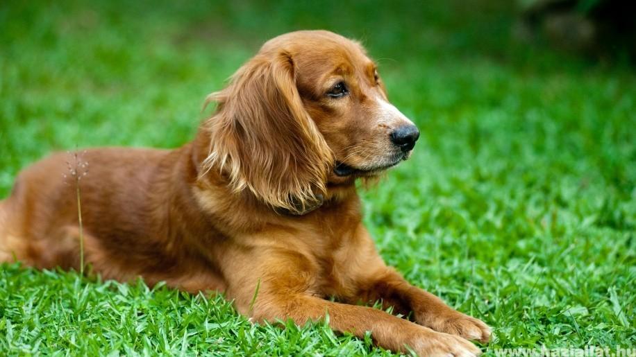 Ízületi gyulladás kutyáknál: kezelések és gyógymódok a fájdalom ellen