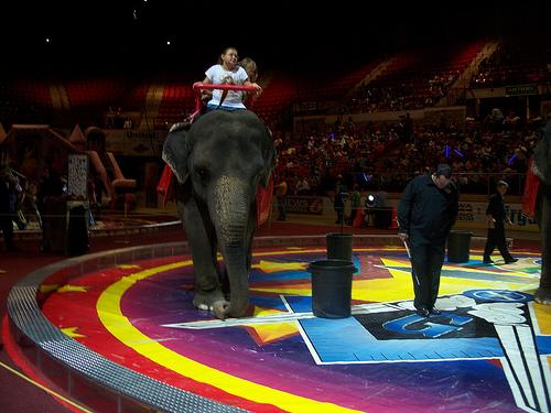 Cirkuszi elefánt
