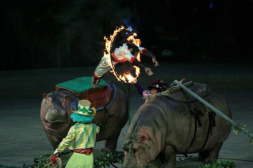 Cirkuszi majom