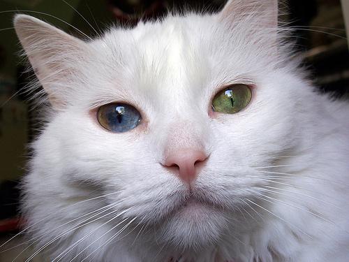 Török van macska