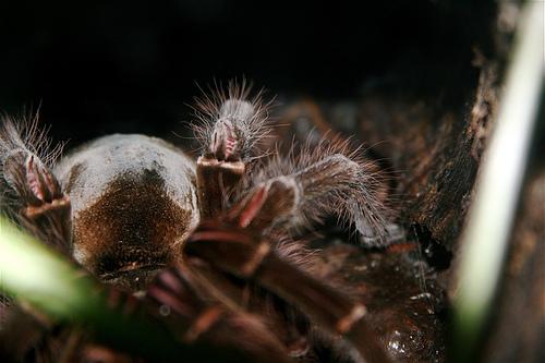 madarevo-tarantula