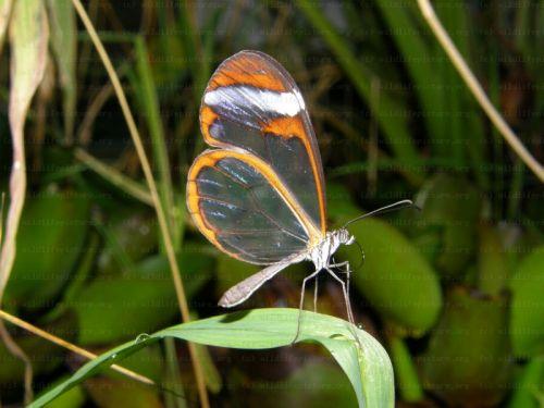 Az áttetsző szárny még törékenyebbnek mutatja ezt a rovart