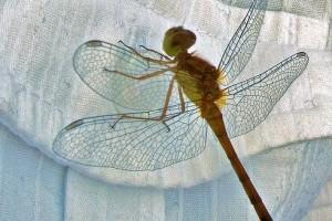 Átlátszó és áttetsző rovarok