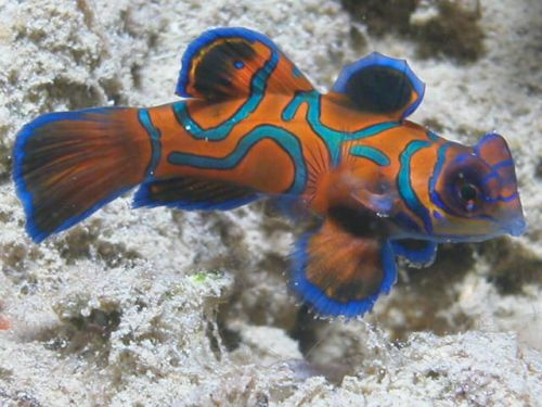A mandarinhal valóban lenyűgöző látvány