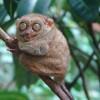 A Fülöp-szigeteki koboldmaki (Tarsius syrichta)