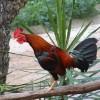A madárhimlő
