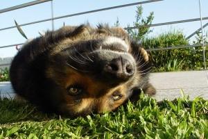 Mitől kap az állat ólommérgezést?