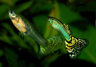 Ez a faj a legváltozatosabb színekben pompázik