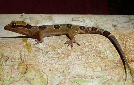 nyugat-afrikai-gekko