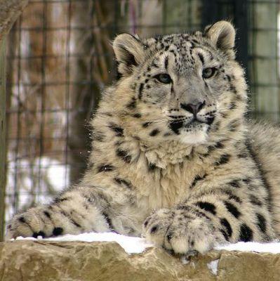 A hópárduc veszélyeztetett fajnak számít