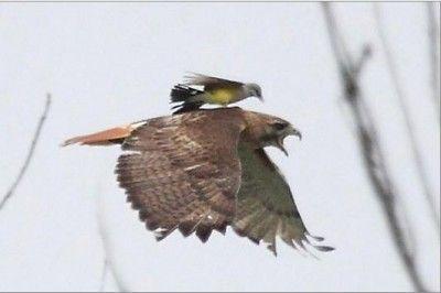 Izgalmas felvétel: potyautas egy vörösfarkú hátán