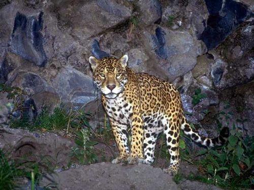 Éjszakai felvétel egy jaguárról