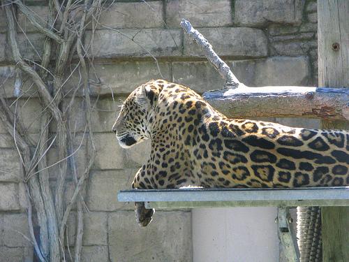 Jaguár pihen