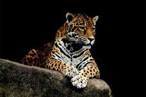 A jaguár (Panthera onca)