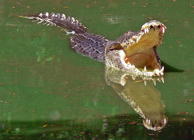 tatongo-krokodil