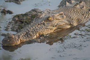 Szörföző krokodilok az óceánban