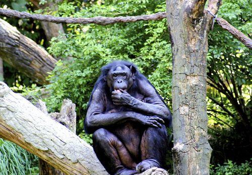 A bonobóknál a fejrázás a nemtetszés jele