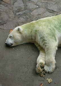 zold-jegesmedve