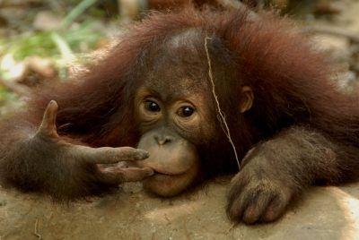 Az orangután ma már sajnos veszélyeztetett faj