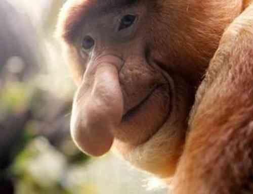 borneoi-majom