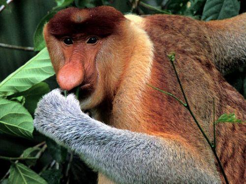 nagy-orru-majom-fajta