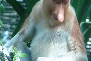 A borneói nagyorrú majom (Nasalis larvatus)