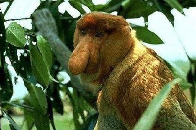 nagyorru-majom