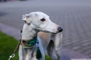 Hogyan válasszuk ki a megfelelő kutyanyakörvet?