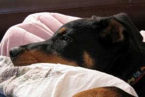 Hogyan azonosítsuk a kutya májdaganatát?