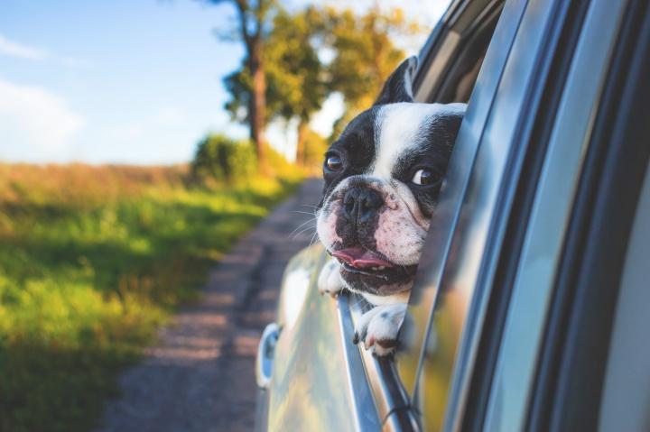 white-and-black-short-coat-puppy-on-black-window-car-134392