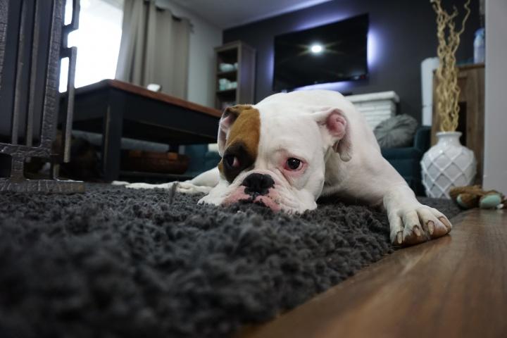 white-and-tan-english-bulldog-lying-on-black-rug-164446