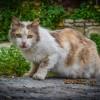 Honnan tudhatod, hogy a macskád tüzel?