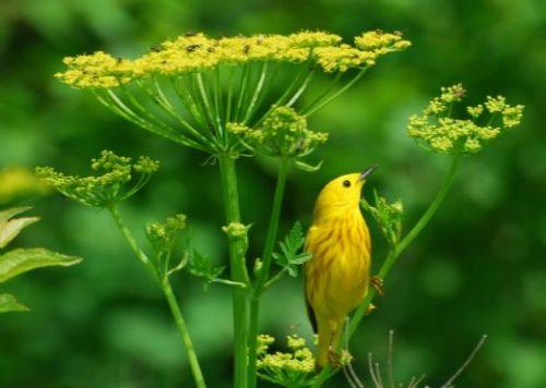 Kis sárga énekesmadár vadpaszternákon
